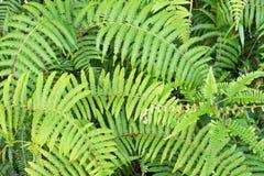 Groene die achtergrond met vareninstallatie in bosdeel 2 wordt gekweekt royalty-vrije stock afbeelding