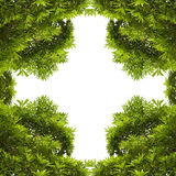 Groene die bladeren met copyspace worden geïsoleerd Stock Afbeeldingen
