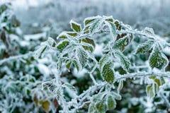 Groene die bladeren met rijp en ijs worden behandeld stock afbeelding