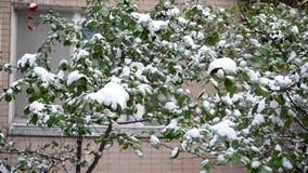Groene die bladeren met sneeuw worden behandeld stock video