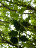 Groene die bladeren op boom in bos hierboven op tak wordt afgeluisterd Royalty-vrije Stock Fotografie