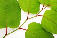 Groene die bladeren op een bos over wit wordt geïsoleerd Royalty-vrije Stock Foto