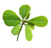 Groene die bladeren op wit worden geïsoleerd Royalty-vrije Stock Afbeeldingen