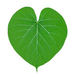 Groene die bladeren (Tinospora-cordifoliakruid) op wit worden geïsoleerd stock foto's