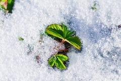 Groene die bladeren van aardbei met de eerste witte sneeuw worden behandeld stock afbeeldingen