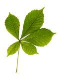 Groene die bladeren van kastanjeboom op wit wordt geïsoleerd Stock Foto