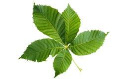 Groene die bladeren van kastanjeboom op wit wordt geïsoleerd Royalty-vrije Stock Afbeeldingen