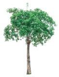 Groene die bomen op witte achtergrond worden geïsoleerd Stock Foto's