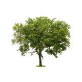 Groene die boom op wit met het knippen van weg wordt geïsoleerd Stock Afbeeldingen