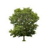 Groene die boom op wit met het knippen van weg wordt geïsoleerd Stock Fotografie