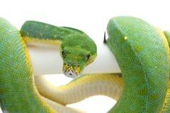 Groene die boompython op witte achtergrond wordt geïsoleerd Royalty-vrije Stock Fotografie