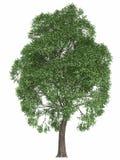 Groene die de zomerboom op witte achtergrond wordt geïsoleerd geef hoog - de populier van de het elementenesdoorn van het kwalite Stock Foto
