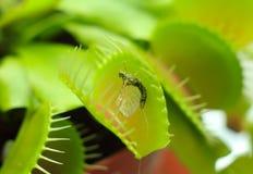 Groene die Dionaea-muscipula, als flytrap, in close-up wordt bekend Stock Afbeeldingen