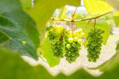 groene die druiven op de wijnstok door bladeren wordt ontworpen Stock Foto