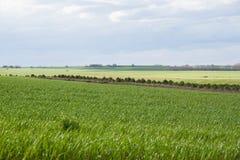 Groene die gebieden met graangewassen in de lente worden geplant Royalty-vrije Stock Foto's