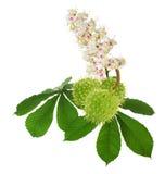 Groene die kastanjes met bladeren en bloemen op de witte bedelaars worden geïsoleerd Royalty-vrije Stock Afbeeldingen