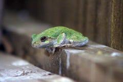 Groene die kikker op een houten richel wordt neergestreken stock afbeeldingen