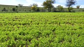 Groene die linzeaanplanting, linzeinstallatie op het gebied, linzecultuur, groene het landschapsvideo wordt gecultiveerd van het  stock videobeelden