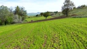 Groene die linzeaanplanting, linzeinstallatie op het gebied, linzecultuur, groene het landschapsvideo wordt gecultiveerd van het  stock video