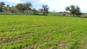 Groene die linzeaanplanting, linzeinstallatie op het gebied, linzecultuur, groene het landschapsvideo wordt gecultiveerd van het  stock footage