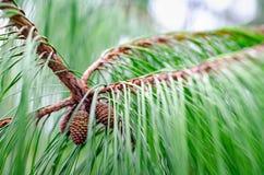 Groene die pijnboom van dichte omhooggaand wordt gezien stock afbeelding