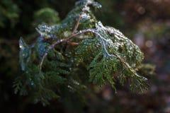 Groene die thujatakken met transparant ijs in wintertijd worden behandeld stock afbeelding