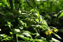 Groene die tomaten in een serre worden gekweekt Stock Afbeeldingen