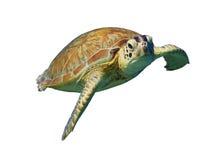 Groene die Zeeschildpad op witte achtergrond wordt geïsoleerd Stock Afbeeldingen