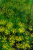 Groene dille (Anethum graveolens) Royalty-vrije Stock Foto's
