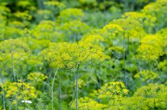 Groene dille in de tuin Royalty-vrije Stock Foto's