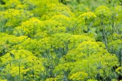Groene dille in de tuin Stock Foto's