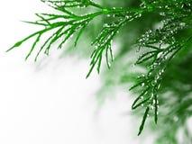 Groene dille met waterdalingen, close-up Royalty-vrije Stock Afbeelding