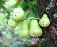 Groene djamboevrucht of chomphu Royalty-vrije Stock Afbeeldingen