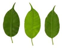Groene drie doorbladeren Stock Fotografie