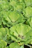 Groene drijvende watersla, gebruikte waterzuiveringsinstallatie Selectieve nadruk Stock Afbeelding