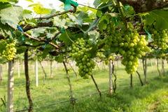 Groene druif Stock Foto's