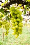 Groene druif op wijnstok stock foto