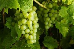 Groene Druiven   Stock Foto's