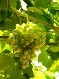 Groene druiven Stock Fotografie