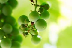 Groene druiven op de tak Royalty-vrije Stock Foto's