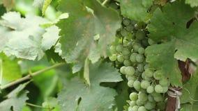 Groene druiven op de wijnstokslingering stock footage