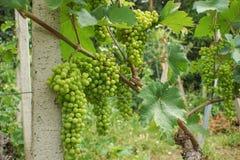 Groene druiven op een wijnstok stock afbeeldingen