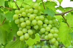Groene Druiven op Wijnstok Stock Afbeelding