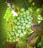 Groene Druiven, Temecula, Californië Stock Foto's