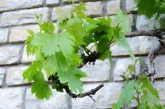 Groene druivenbladeren, tak van een boom Stock Foto