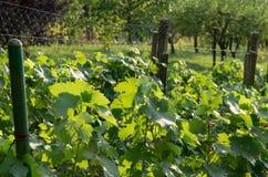 Groene druivenbladeren van een privé wijngaard Stock Afbeeldingen