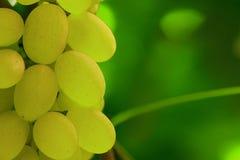 Groene druivencluster op wijnstok Stock Afbeeldingen
