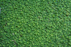 Groene duckweeds in moeras Stock Afbeeldingen