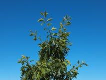 Groene eenzame boom op blauwe hemelachtergrond Stock Foto's
