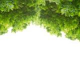Groene Eiken Bladeren Royalty-vrije Stock Foto